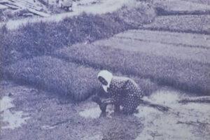 大城周辺に広がる水田風景。かつては稲作が主要産業だった。 / 南城市 旧大里村大城(その2)|おきなわアーカイブ